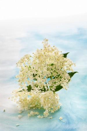 vista de una flor de sauco